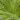 Chamaerops foliage