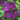 Clematis-Etoile-violette